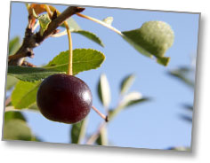 Cherry on the Tree -- in the St. Therese Orchard (copyright 2011 | James Riley / St. Therese Institute